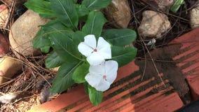 Fiori del Catharanthus in giardino archivi video