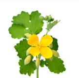 Fiori del Celandine con le foglie. fotografie stock libere da diritti