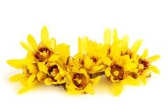 Fiori del Chimonanthus o di Wintersweet Fotografia Stock