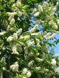 Fiori del ciliegio dell'uccello Fotografie Stock