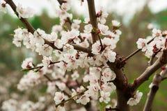 Fiori del ciliegio di Sakura in foresta Immagini Stock Libere da Diritti