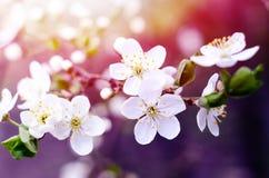 Fiori del ciliegio La molla bianca fiorisce il primo piano Fondo stagionale della molla morbida del fuoco immagine stock libera da diritti