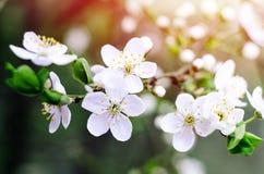 Fiori del ciliegio La molla bianca fiorisce il primo piano Fondo stagionale della molla morbida del fuoco fotografia stock
