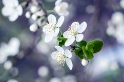 Fiori del ciliegio La molla bianca fiorisce il primo piano Fondo stagionale della molla morbida del fuoco fotografie stock