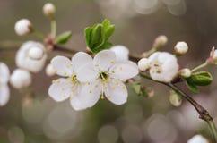 Fiori del ciliegio La molla bianca fiorisce il primo piano Fondo stagionale della molla morbida del fuoco immagine stock