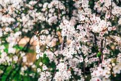 Fiori del ciliegio La sorgente fiorisce la priorità bassa Fotografie Stock