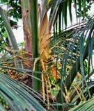 Fiori del cocco sul cocco Fotografie Stock