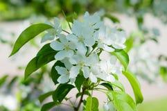 Fiori del colore di bianco dell'Apple-albero Immagine Stock