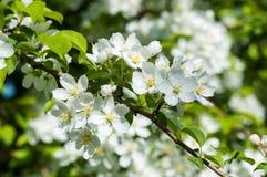Fiori del colore di bianco dell'Apple-albero Fotografie Stock