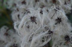 Fiori del cotone di inverno Immagini Stock Libere da Diritti