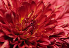 Fiori del crisantemo Immagine Stock Libera da Diritti