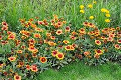 Fiori del crisantemo Fotografie Stock Libere da Diritti