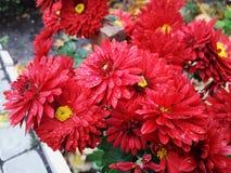 Fiori del crisantemo di autunno Immagine Stock Libera da Diritti