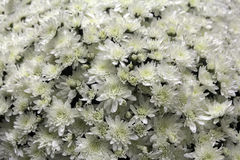 Fiori del crisantemo di autunno Immagini Stock