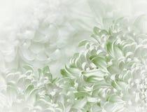Fiori del crisantemo fondo bianco verde collage floreale Composizione nel fiore Primo piano fotografia stock libera da diritti