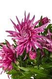 Fiori del crisantemo, isolati su fondo bianco Immagine Stock