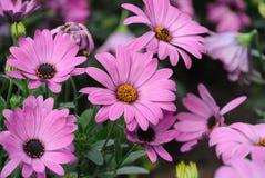 Fiori del crisantemo Fotografia Stock Libera da Diritti