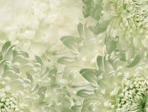 Fiori del crisantemo Priorit? bassa verde chiaro collage floreale Composizione nel fiore Primo piano fotografie stock libere da diritti