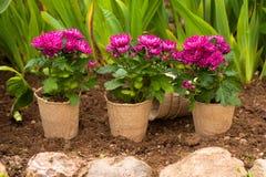 Fiori del crisantemo in vasi su terra Fotografie Stock