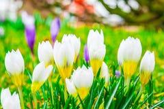 Fiori del croco in sole di primavera Immagine Stock Libera da Diritti