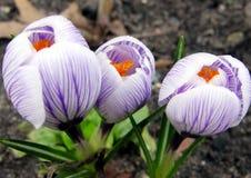 Fiori del croco in sole di primavera immagini stock libere da diritti