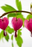 Fiori del cuore di emorragia Fotografia Stock Libera da Diritti