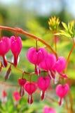 Fiori del cuore di emorragia (spectabilis del Dicentra) Fotografie Stock