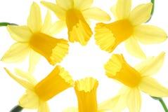 Fiori del Daffodil Fotografia Stock