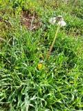 Fiori del dente di leone nel paesaggio dell'erba Fotografia Stock