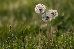 fiori del dente di leone nella rugiada nell'ambito dei primi raggi del sole di estate immagini stock