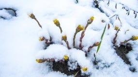 fiori del dente di leone sotto la neve fotografia stock libera da diritti