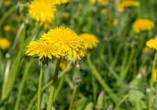 Fiori del dente di leone su erba ad estate primo piano, natura immagini stock