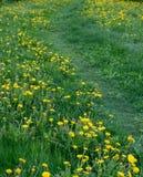 Fiori del dente di leone su erba ad estate primo piano, natura fotografie stock libere da diritti