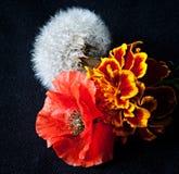 Fiori del dente di leone, tagete e papavero rosso su un fondo nero Immagini Stock