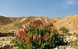 Fiori del deserto. Immagini Stock