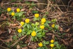 Fiori del Eranthis nella fioritura gialla di colore fotografia stock libera da diritti