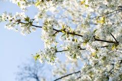 Fiori del fiore della sorgente Immagini Stock