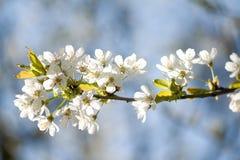 Fiori del fiore della sorgente Immagine Stock