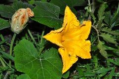 Fiori del fiore della zucca Fotografie Stock Libere da Diritti