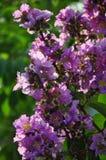 Fiori del fiore di Bougenville Fotografia Stock Libera da Diritti