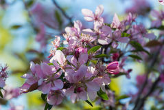 Fiori del fiore di ciliege giapponese in primavera Fotografia Stock Libera da Diritti