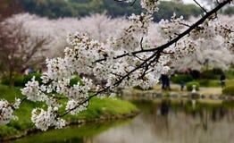 Fiori del fiore di ciliegia fotografie stock libere da diritti