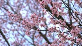 Fiori del fiore di ciliegia di Sakura alla molla archivi video