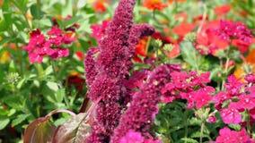 Fiori del flox di rosa selvaggio video d archivio