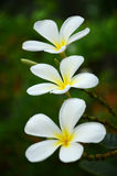 fiori del frangipane Fotografie Stock