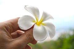 Fiori del frangipane della tenuta (fiore giallo bianco di plumeria) immagine stock
