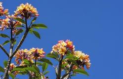 Fiori del frangipane e fondo del cielo blu immagine stock