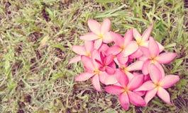 Fiori del frangipane o fiore di plumeria (stile morbido d'annata) fotografia stock libera da diritti