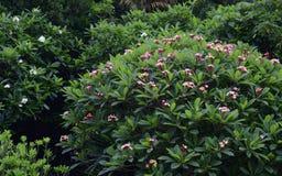 Fiori del frangipane (plumeria) Immagini Stock