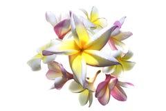 Fiori del frangipane (plumeria) Immagine Stock